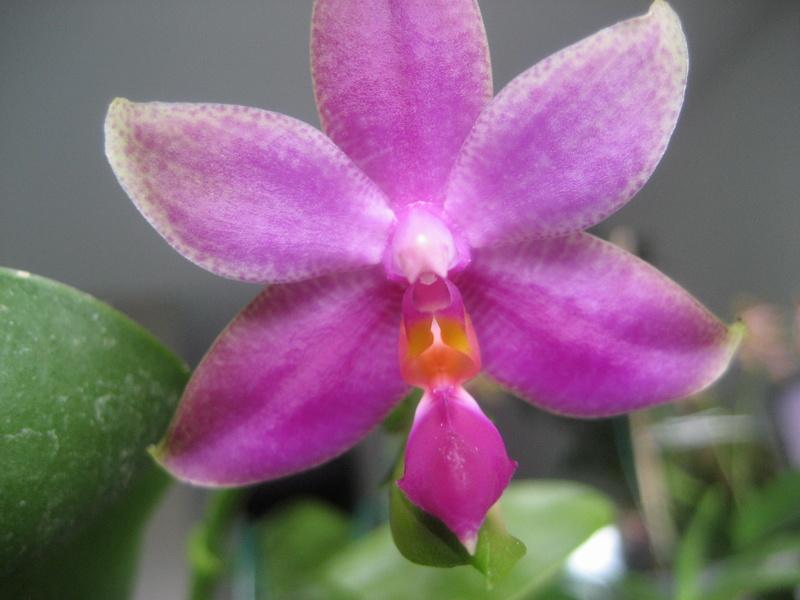 Mes phalaenopsis Img_0749