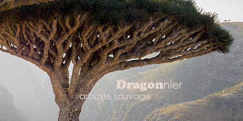 Dragonnier Sigand10