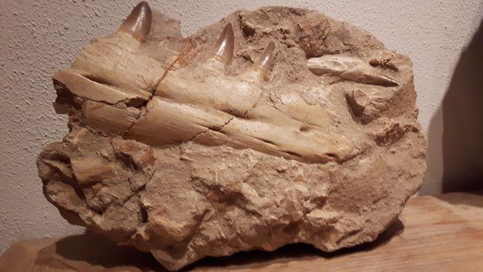 Duda mandíbula de mosasaurus A4a83c10