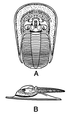 Lioharpes aff. venulosus Devónico inf. Emsiense Palencia Liohar10
