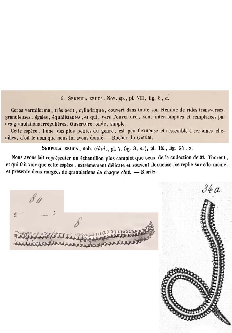 Epibionte para identificar-2 Serpul10