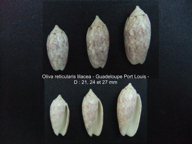 Americoliva reticularis lilacea (Paulmier, 2013) Lilace13