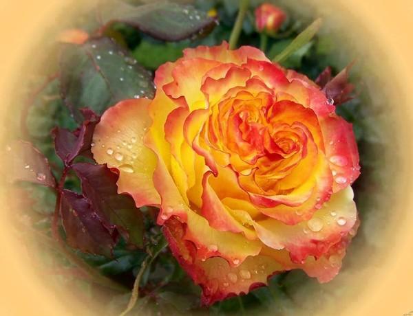Une rose à offrir n°2 - Page 18 6f183910