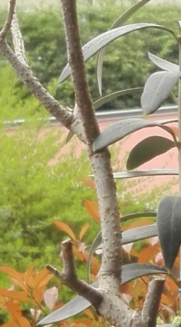 """primo """"bonsai"""" di ulivo - Pagina 7 Ulivo_11"""