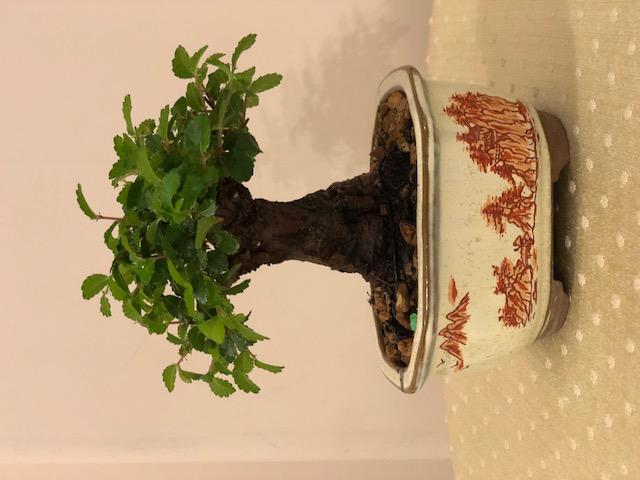 Piccolo olmo cinese 14695910