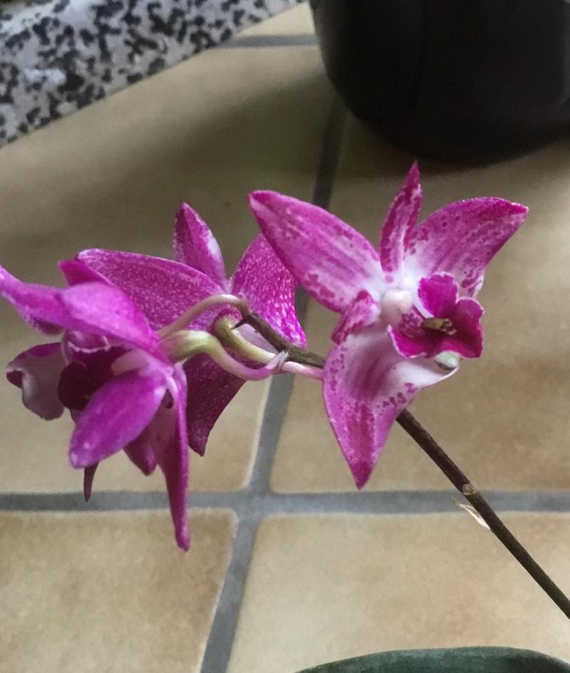 Floraison des orchidées de juin à........... - Page 4 3a458a10