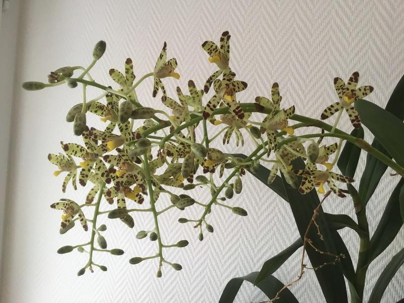 Floraison des orchidées de juin à........... - Page 4 Bed51510