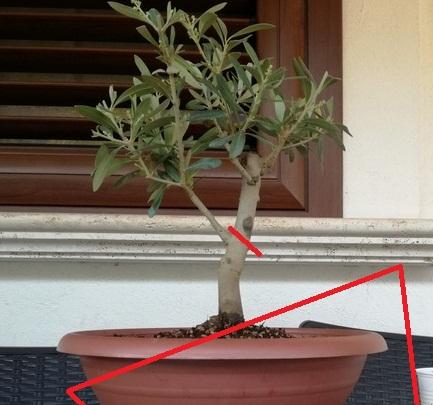 "primo ""bonsai"" di ulivo - Pagina 6 Img_2011"
