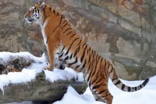 Tiger Totem Th10