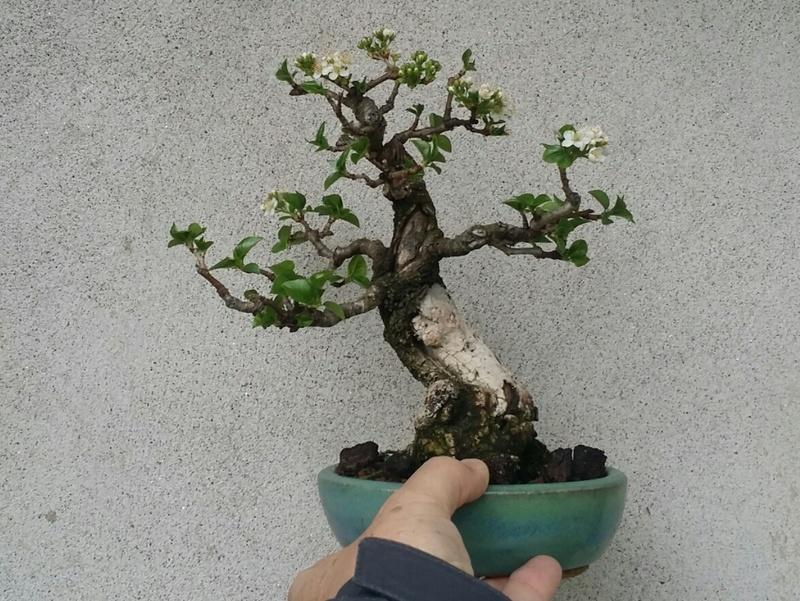 [WIP] Prunus mahaleb shoin - Pagina 3 20180421