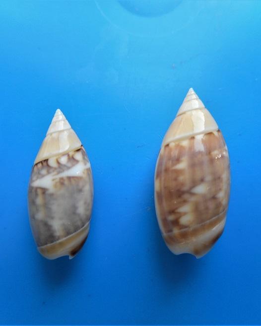 Olivella petiolita (Duclos, 1835) Dscn1817