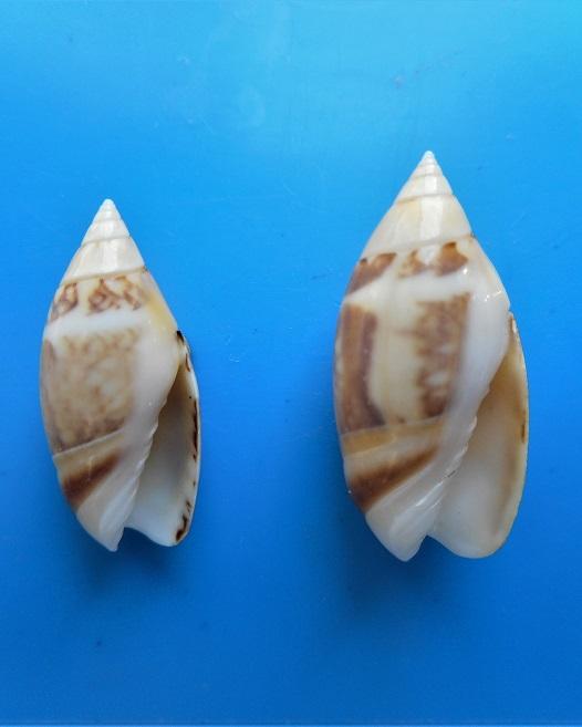 Olivella petiolita (Duclos, 1835) Dscn1818
