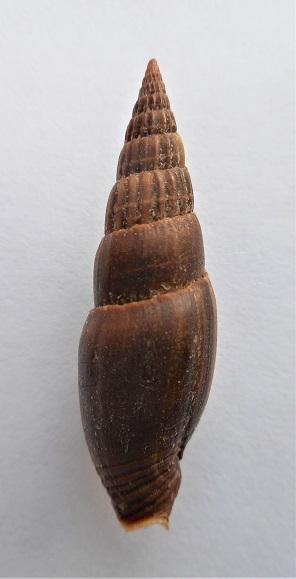 Vexillum acuminatum - (Gmelin, 1791) Dscn2023