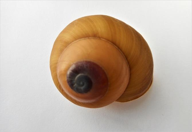 Calocochlia sphaerion (Sowerby,1841) Dscn2034
