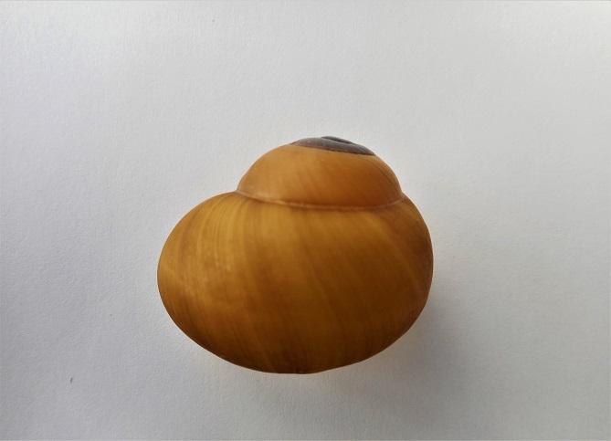 Calocochlia sphaerion (Sowerby,1841) Dscn2036