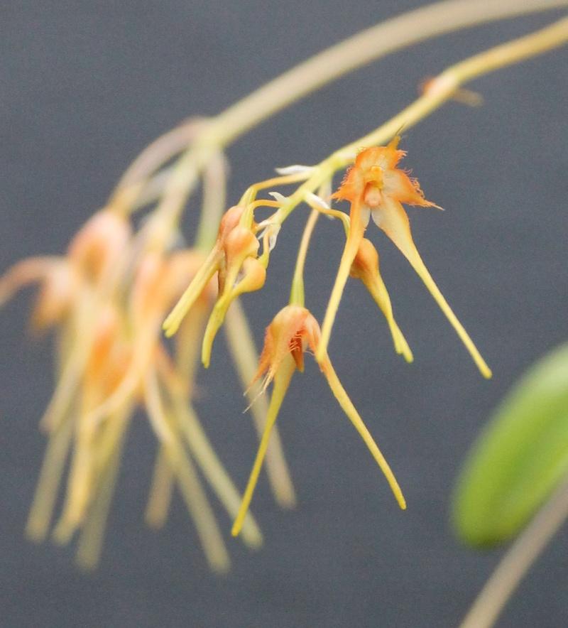 Bulbophyllum taiwenense Bulbop10