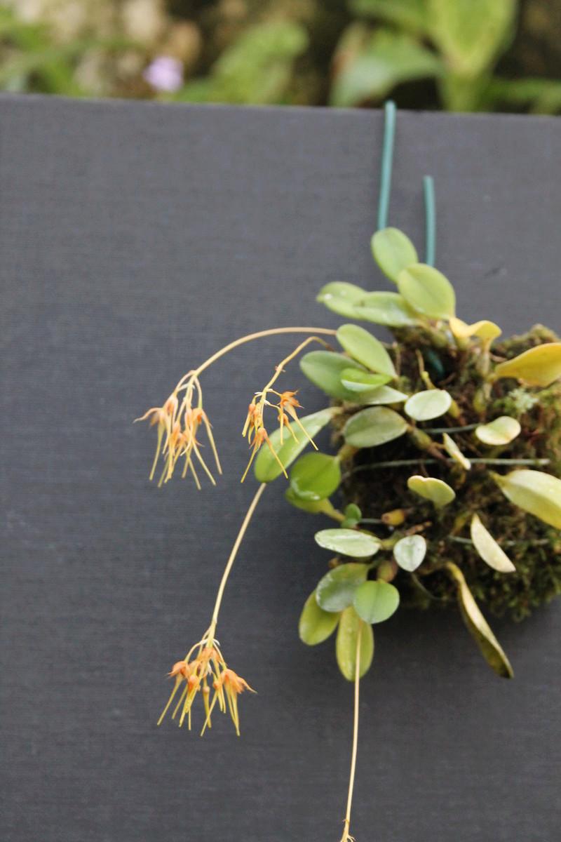 Bulbophyllum taiwenense Bulbop11