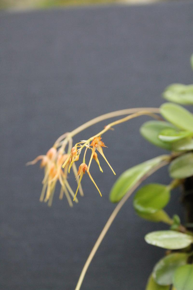 Bulbophyllum taiwenense Bulbop12