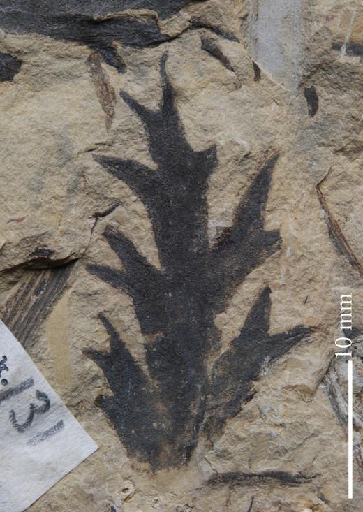 Flore Carbonifère des Alpes Françaises part 2 Aphleb10