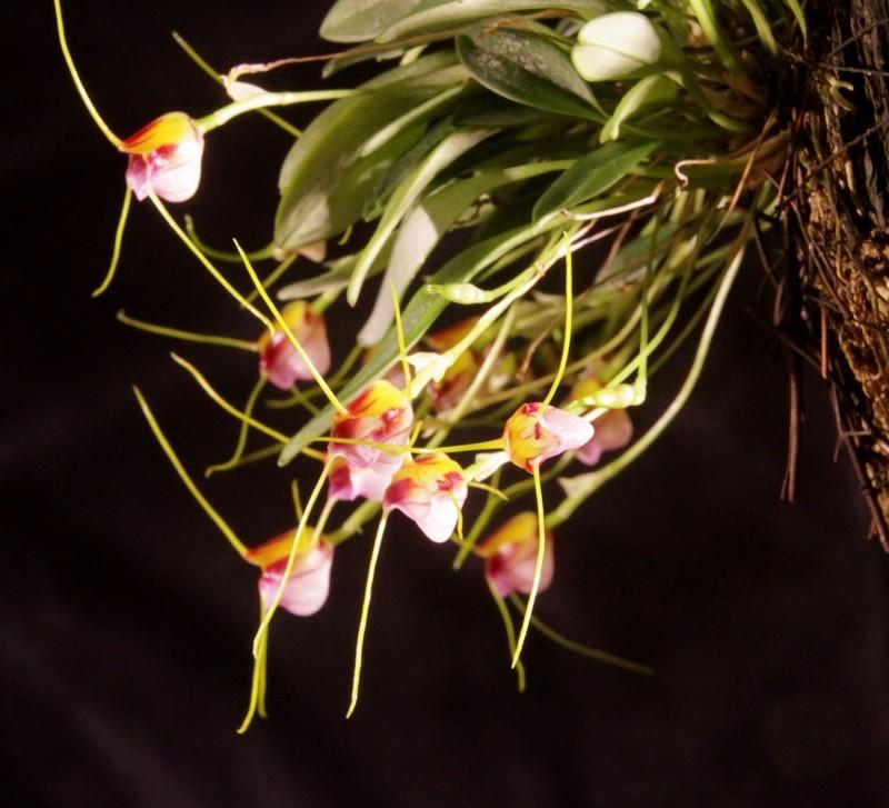 Miniatur-Orchideen Teil 3 - Seite 42 Img_1714