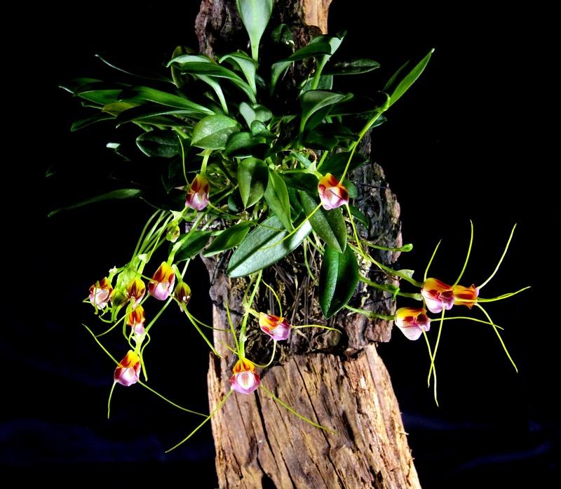 Miniatur-Orchideen Teil 3 - Seite 42 Img_1716