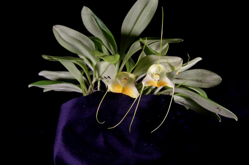 Miniatur-Orchideen Teil 3 - Seite 42 Img_1717