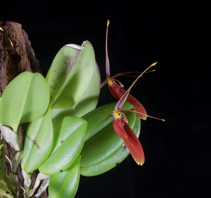 Miniatur-Orchideen Teil 3 - Seite 42 Img_1718