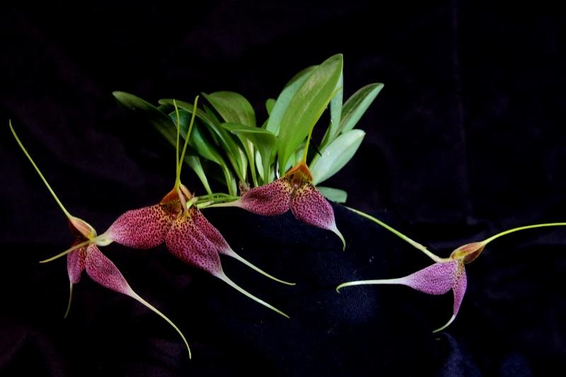 Miniatur-Orchideen Teil 3 - Seite 44 Img_1727