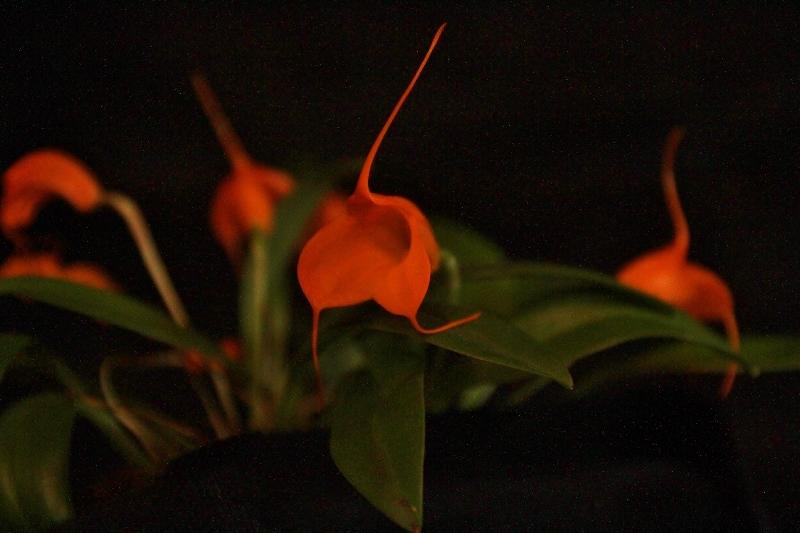 Miniatur-Orchideen Teil 4 Img_1749