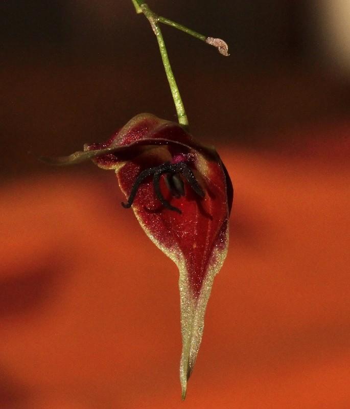 Miniatur-Orchideen Teil 4 - Seite 3 Img_1821