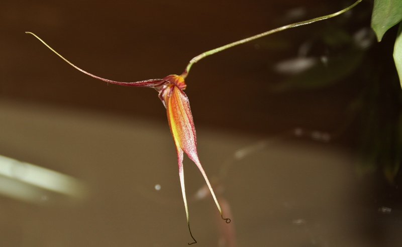 Miniatur-Orchideen Teil 4 - Seite 4 Img_1839