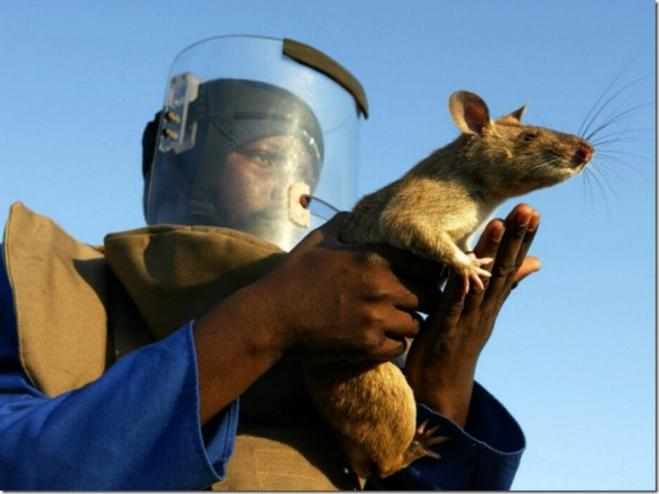 Les rats démineurs 0126