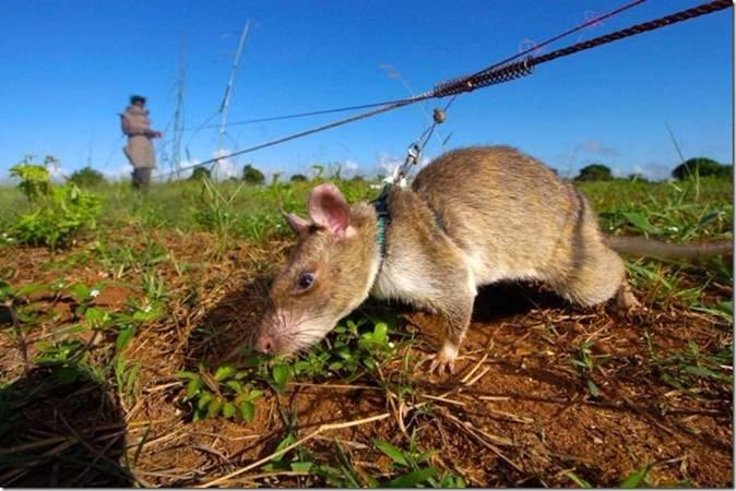 Les rats démineurs 0326