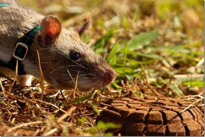 Les rats démineurs 0422