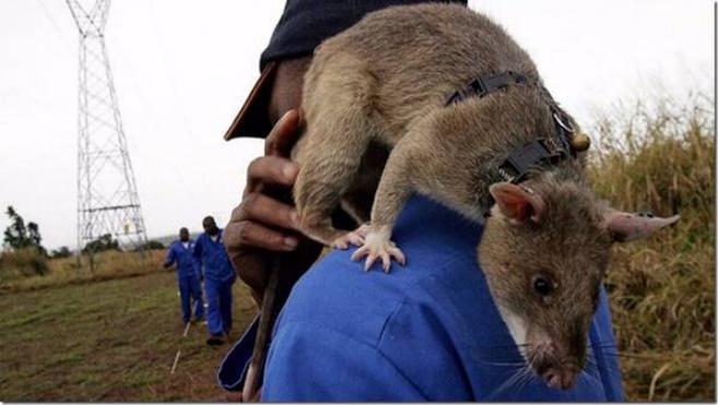 Les rats démineurs 0721