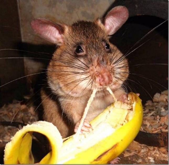 Les rats démineurs 0820