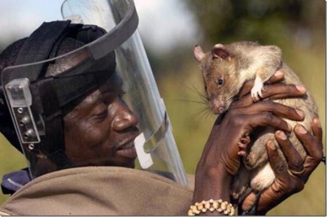 Les rats démineurs 0919