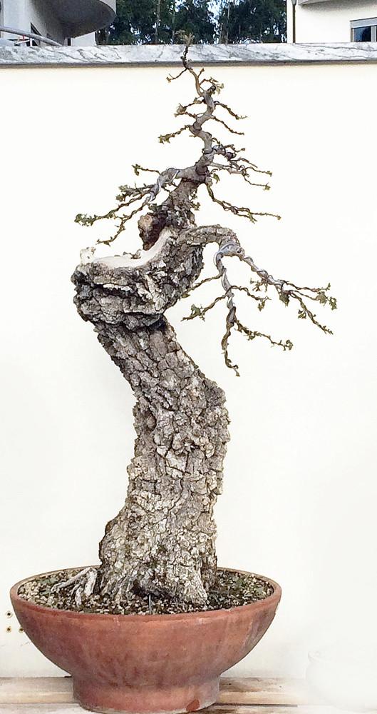 Portuguese Oak (Quercus Faginea) Img_1511