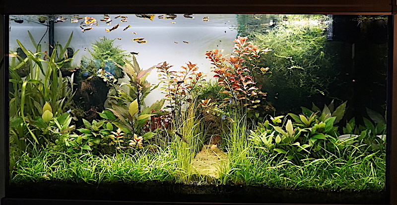 Aquarium Elégance Inox avec guppy et red cherry - Page 5 Dsc02912