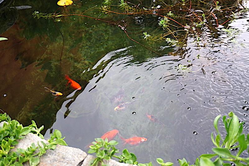Bassin extérieur avec voiles de chine - Page 11 Dsc07516