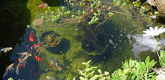 Bassin extérieur avec voiles de chine - Page 11 Dsc07713