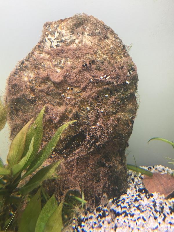 Graines pour gazon d'aquarium Img_6719