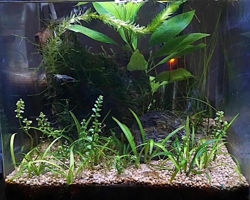 6 BACS ESCALIER dont 4 avec crevettes et 2 avec plantes - Page 4 Nano_311