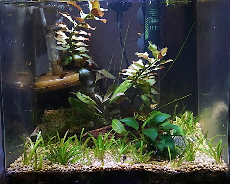 6 BACS ESCALIER dont 4 avec crevettes et 2 avec plantes - Page 4 Nano_611
