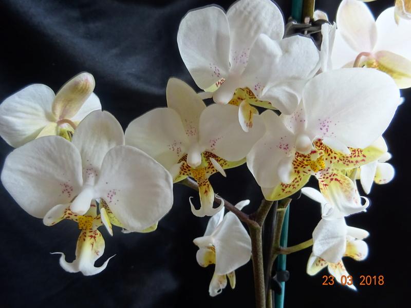 Orchideen-Neuzugang 2 - Seite 2 28_03_17
