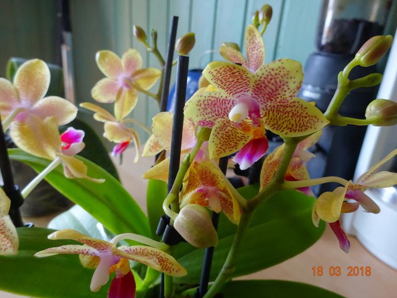 Orchideen-Neuzugang 2 - Seite 2 Dorono10