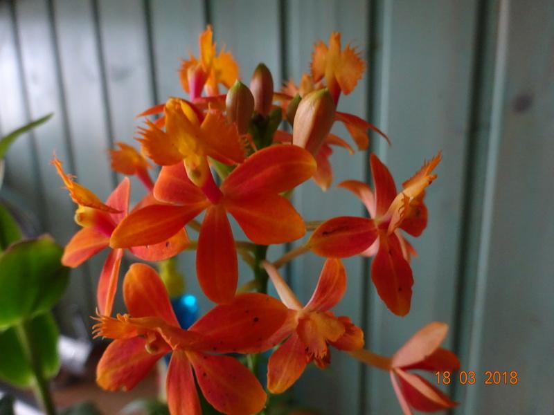 Orchideen-Neuzugang 2 - Seite 2 Epiden10