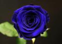 Une rose à offrir n°2 - Page 19 45428610