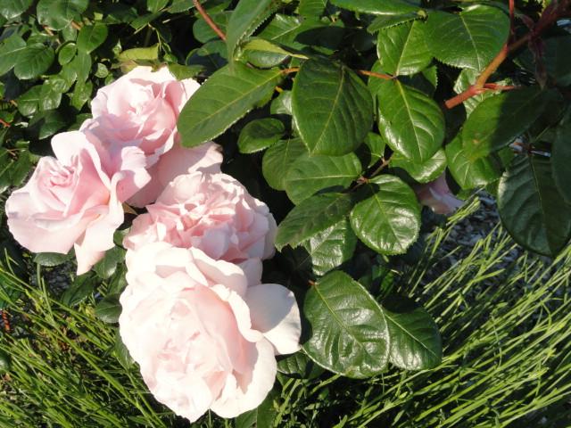 Mes roses et Frédéric Mistral 00710