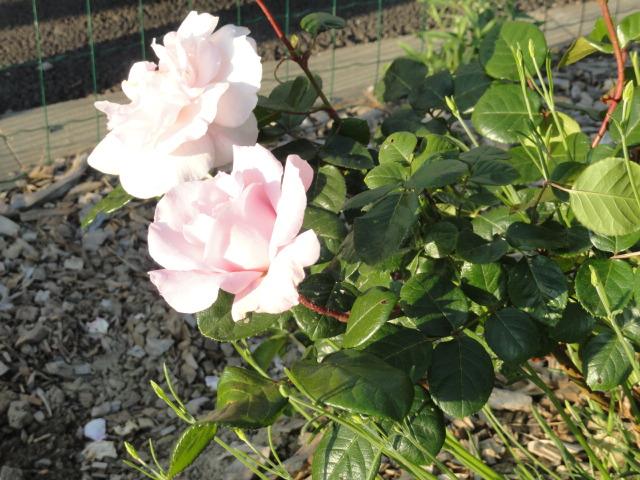 Mes roses et Frédéric Mistral 00810
